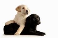wpid-black-and-white-lab-puppies-2014-08-6-12-11-2014-08-6-12-11.jpg